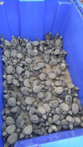Baby sea turtles at Campamiento de Tortugas