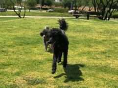 poodles playing El Refugio