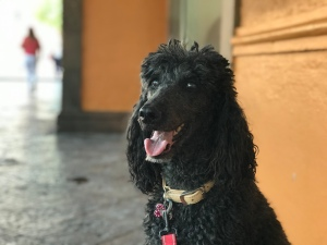 My beautiful poodle, Sophie!